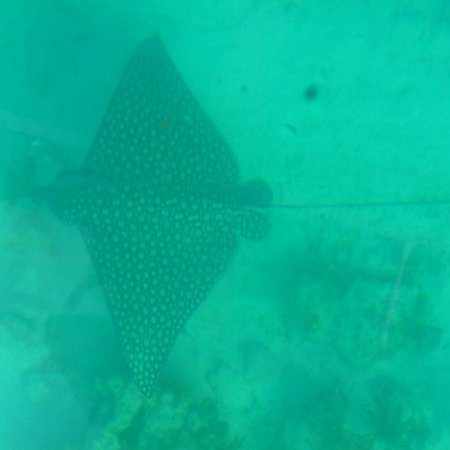 Gumption's Tours BVI: Eagle spotted ray slowly pass by.