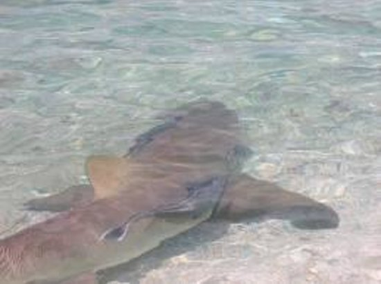 Gumption's Tours BVI: Nurse shark swim close to the beach.