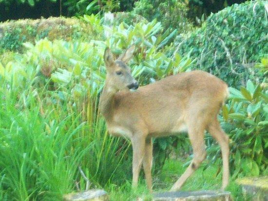 Abbot's Brae Hotel: Roe Deer in Garden