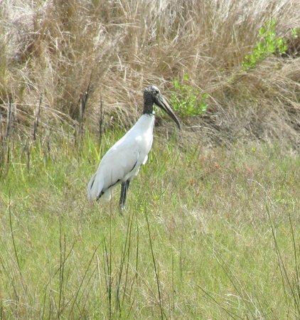 The Lodge on Little St. Simons Island: Wood stork