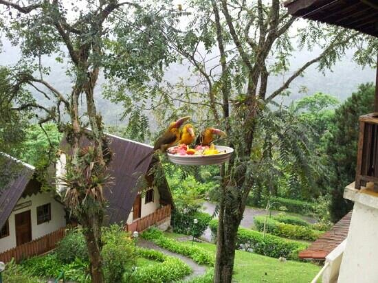 Hotel Do Ype: saffron toucanets, a group of 9 visited.