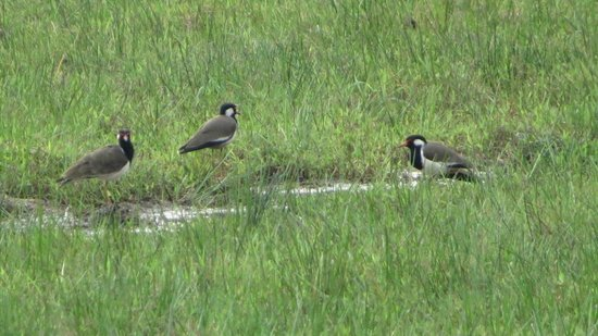 Talangama Wetland: Nesting area