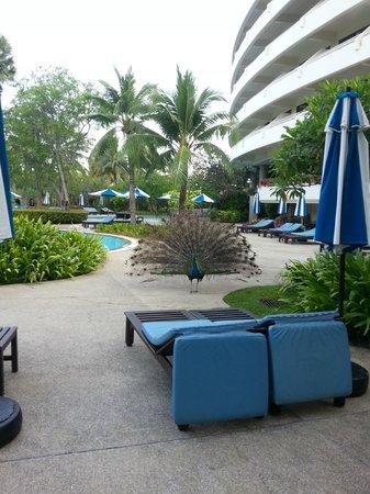 Hilton Phuket Arcadia Resort & Spa: раним утром с павлином повстречались