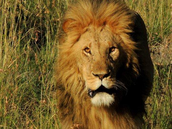 Naboisho Camp, Asilia Africa: One member of the pride