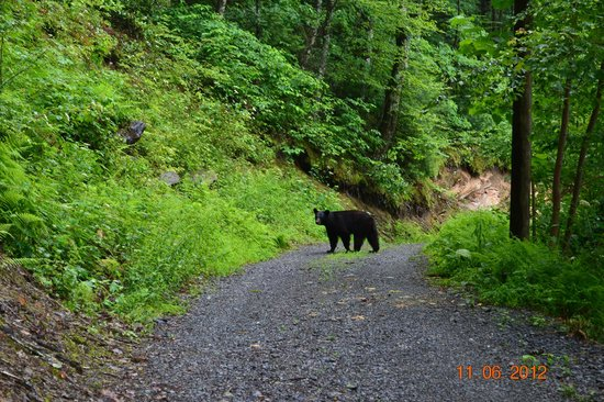 Wilderness View Cabins : Bear in our Drive