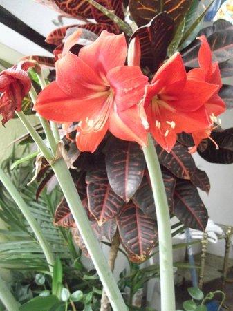 Amarylis blooming in Hostel Casa Del Parque, San Jose, Costa Rica