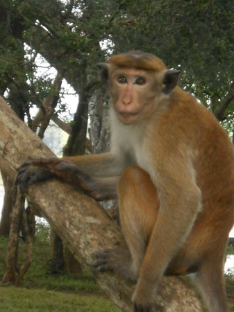 Cinnamon Lodge Habarana : Cheeky Monkey