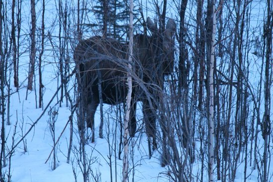 Alaska Grizzly Lodge B&B : ムースがいました