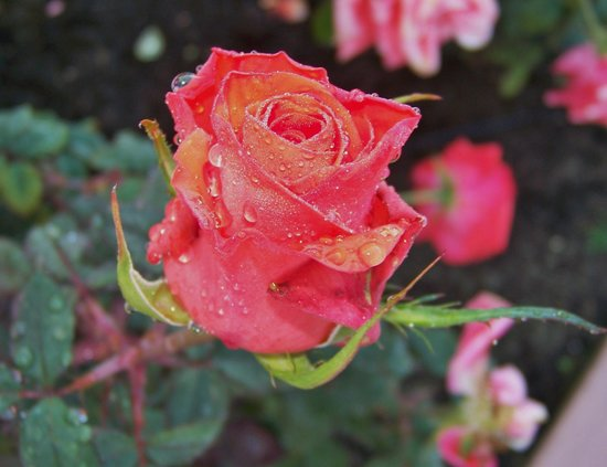 A Place in the Sun Garden Hotel: Roses after the rain....