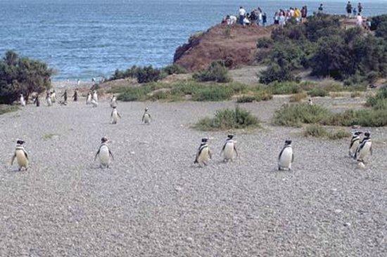 Punta Tombo National Reserve: Pinguinos llegando a sus nidos..