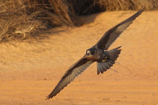 Al Maha, A Luxury Collection Desert Resort & Spa : Falcon in flight