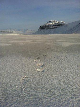 Spitzbergen Adventures: Polar bear tracks on the ice