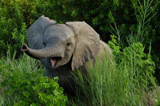 Inyati Game Lodge, Sabi Sand Reserve: Happy baby Elephant