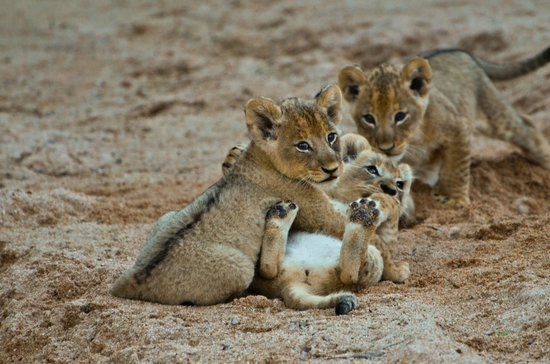 Inyati Game Lodge, Sabi Sand Reserve: Ximhungwe pride cubs playing