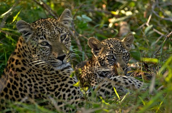 Inyati Game Lodge, Sabi Sand Reserve: Hlabankuzi female Leopard and cub