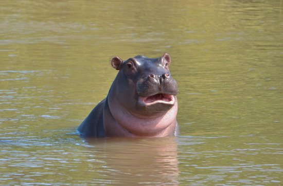 Inyati Game Lodge, Sabi Sand Reserve: Hippo smile
