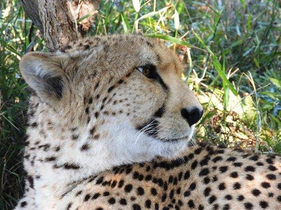 9 on Heron Knysna Bed & Breakfast: Cheetah at Tenikwa Game Resort near Knysna