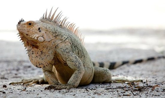 Palm Island Resort & Spa: iguanas are the best experience