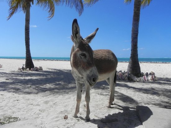 North Beach Island: Wild donkey comes to drink water