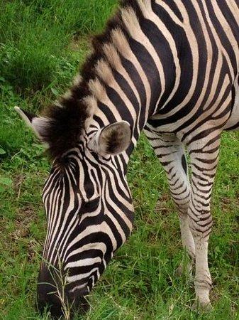 Rain Farm Game and Lodge: zebra