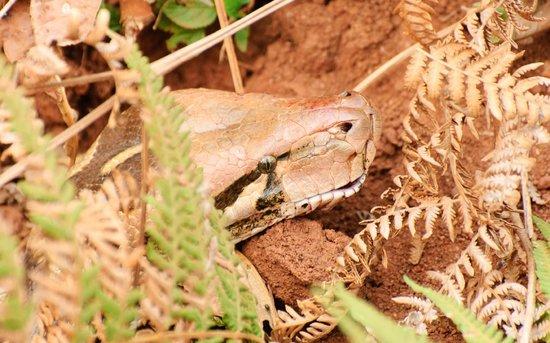 K Gudi Wilderness Camp: Python clise up
