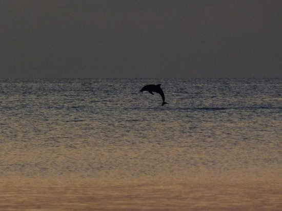 Coco Palm Dhuni Kolhu : Dolphin in the lagoon at sunset