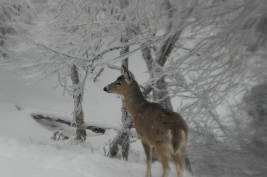 Snowshoe Mountain Resort: Deer