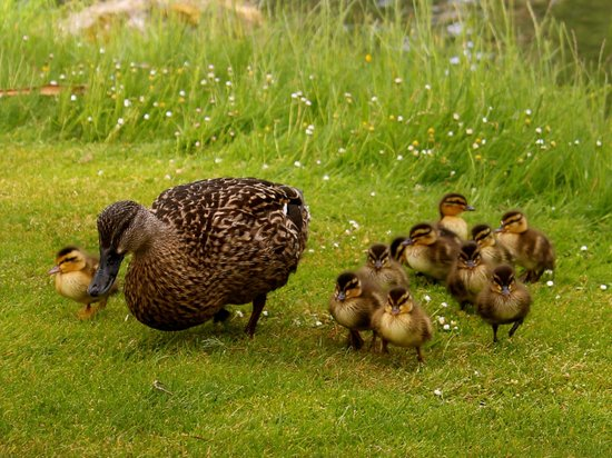 Huka Lodge: Family of ducks by the river