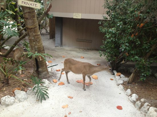 Little Palm Island Resort & Spa, A Noble House Resort : Key Deer - Friendly!