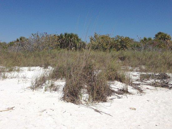 Barefoot Beach Preserve: Sea Oats present on beach - March 2013