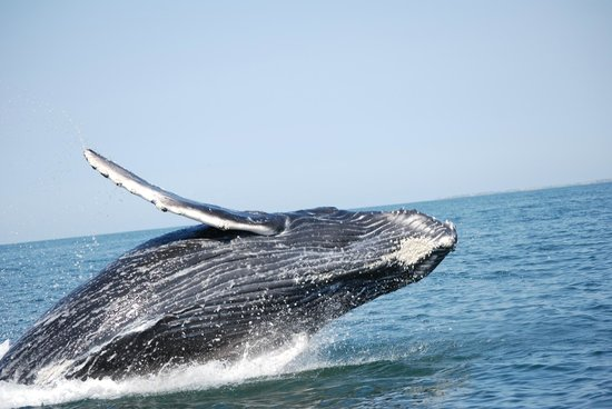 whale breaching picture of ocean friendly whale watching tours