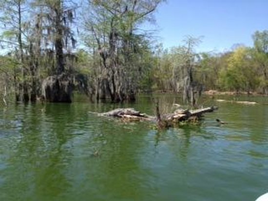 Champagne's Cajun Swamp Tours: Alligator