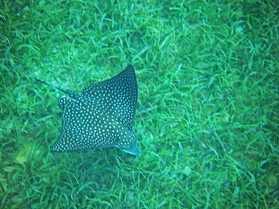 Hotel on the Cay: Eagle Ray spotted, while snorkeling off  the beach