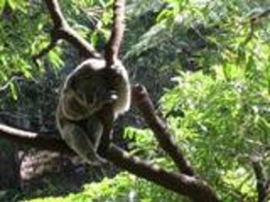 Taronga Zoo: a lovely koala