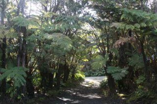 Volcano Inn Cottages: Giant tree ferns line driveway
