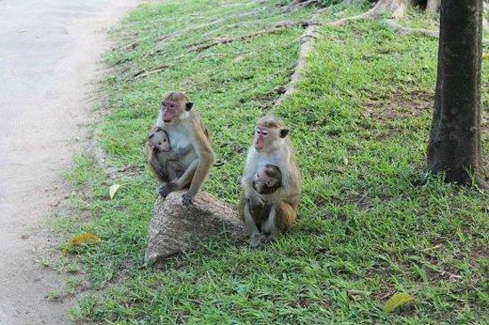 Sigiriya Village Hotel: 猿がちょろちょろ