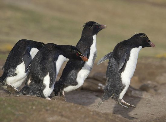 West Falkland, Falkland Islands: Rockhopper Penguins on the penguin highway.