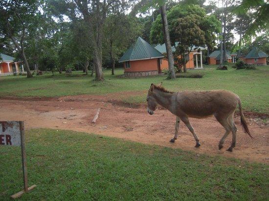 Pearl Gardens Beach Resort Kalangala: donkey at pearl gardns