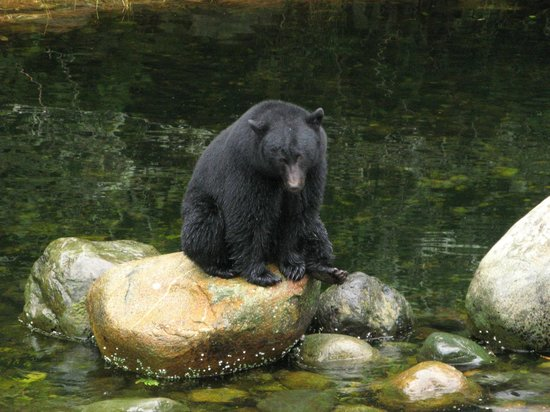 Reef Point Oceanfront B&B: Bear fishing at Thornton Creek Hatchery