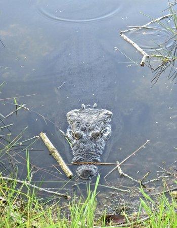 Villa Maya : Crocodile in the fenced off lake.
