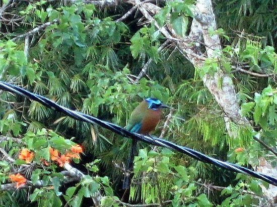 Cuffie River Nature Retreat and Eco-Lodge: Blue crowned motmot