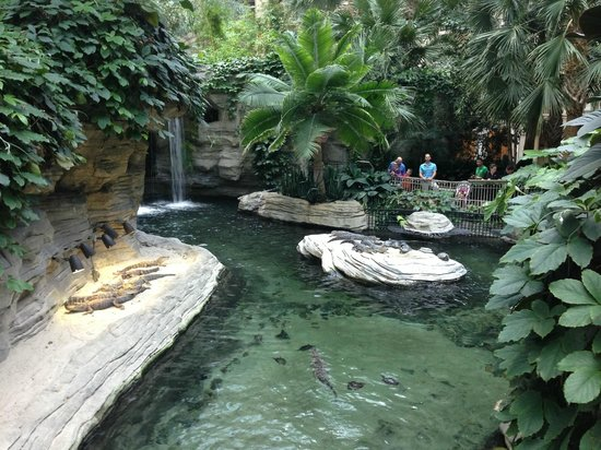 Gaylord Palms Resort & Convention Center: Alligators and turtles in the pond