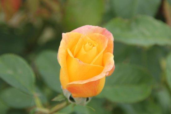Catholic St. Patrick's Akaroa : a rose!