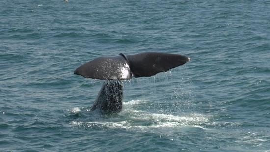 Kaikoura Apartments: Sperm Whale diving.