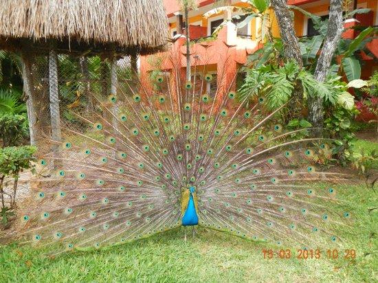 Iberostar Quetzal Playacar: Pavo real