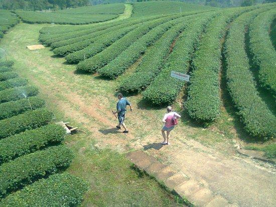 Chiang Rai Province, Thailand: Mae Salong mountain, to visit inside Tea plantation.