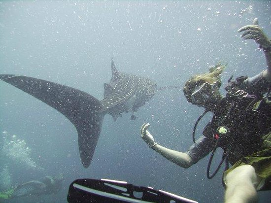Goodtime Adventures, Koh Tao: Whale shark time!!
