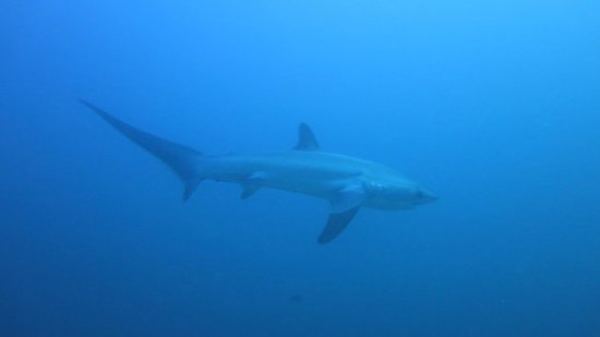 Malapascua Exotic Diving Center: A Tresher shark at Monad Shoal on my first dive, awesome !!