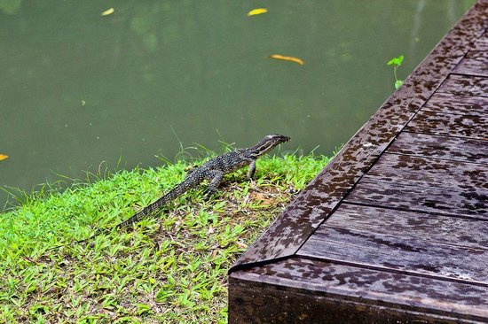 Arundina: Monitor lizard, free of charge