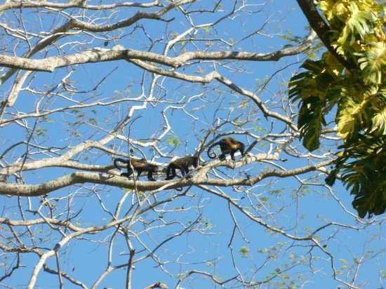 The Howler Monkey Hotel: Howler Monkeys outside our cabina